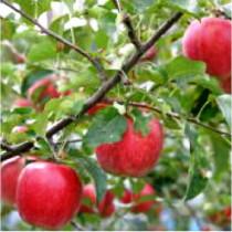 りんごはおいしいよ